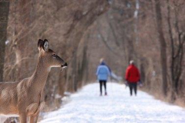 Winter Deer Walking_gary-bendig