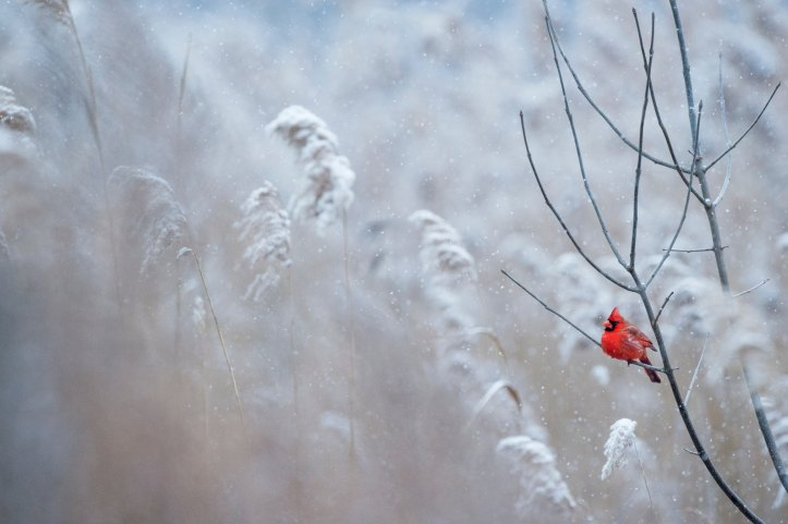 winter red cardinal_ray-hennessy-170740